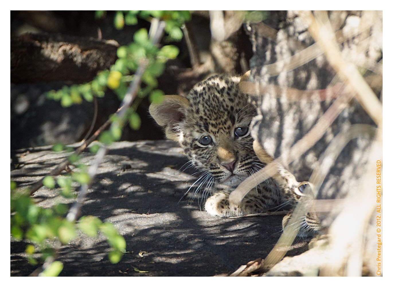 LeopardCub689-_Jul15-2012