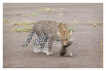 LeopardCub7099-Oct3-2013