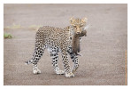 LeopardCub7114-Oct3-2013