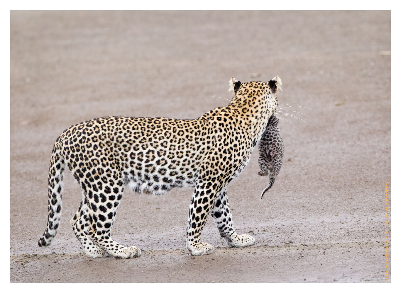LeopardCub7151-Oct4-2013