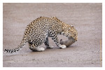 LeopardCub7158-Oct3-2013