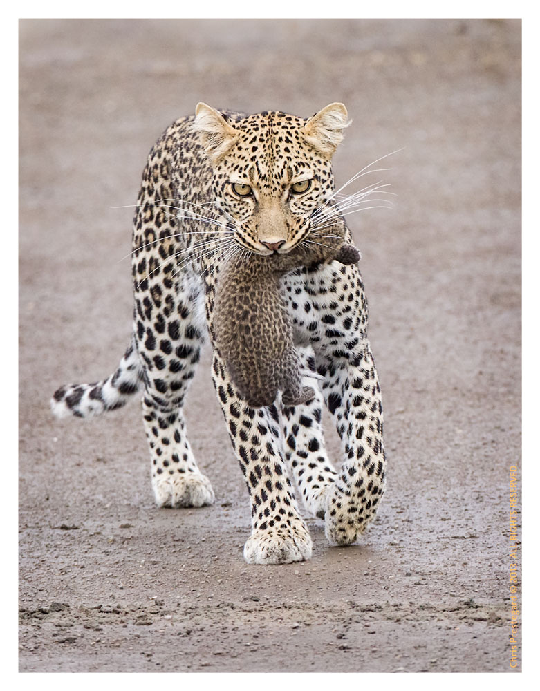 LeopardCub7180-Oct3-013
