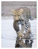 Leopard Mom with Cub, Tanzania Feb. 2013