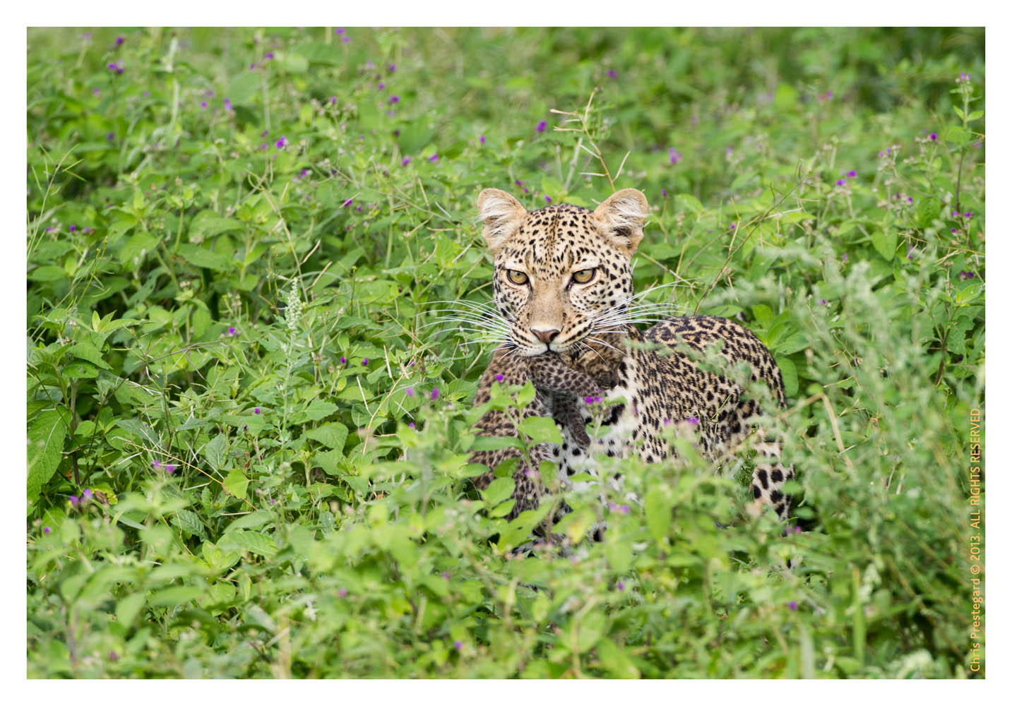 LeopardCub7288-Oct3-2013