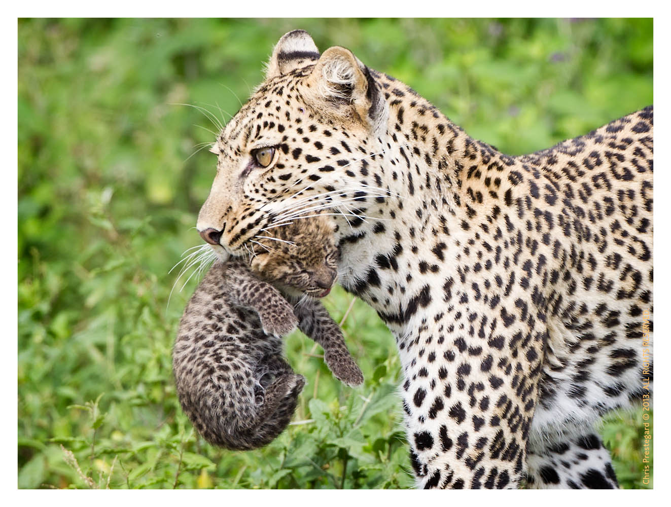 LeopardCub7344-Oct3-2013