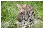 LeopardCub7349-Oct3-2013