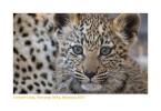 LeopardCub818_11-10-07