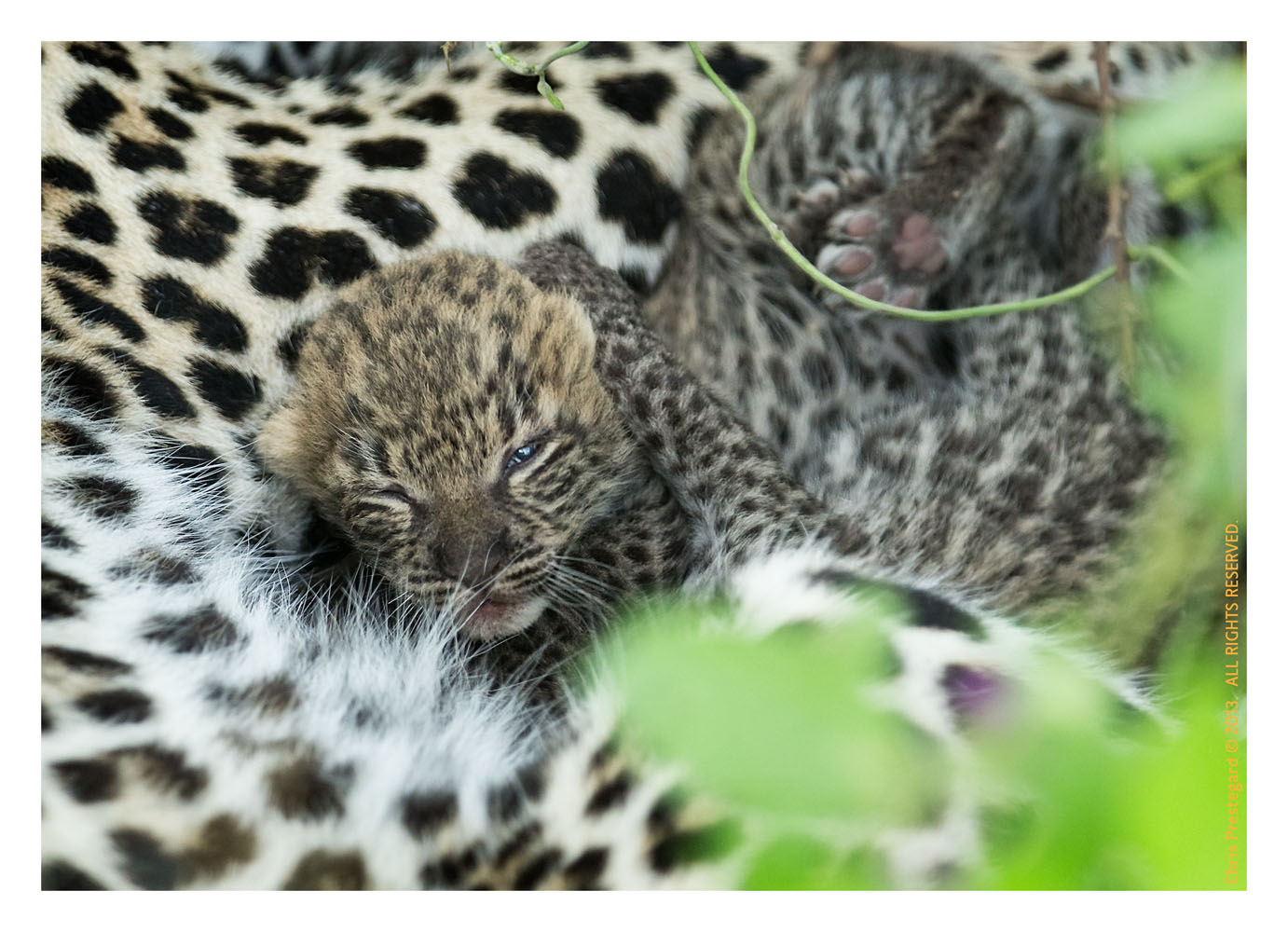 LeopardCub8539-Oct4-2013