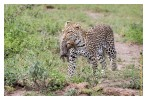 LeopardCub8910-Oct4-2013