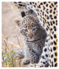 LeopardCub9893b-Apr20-2012