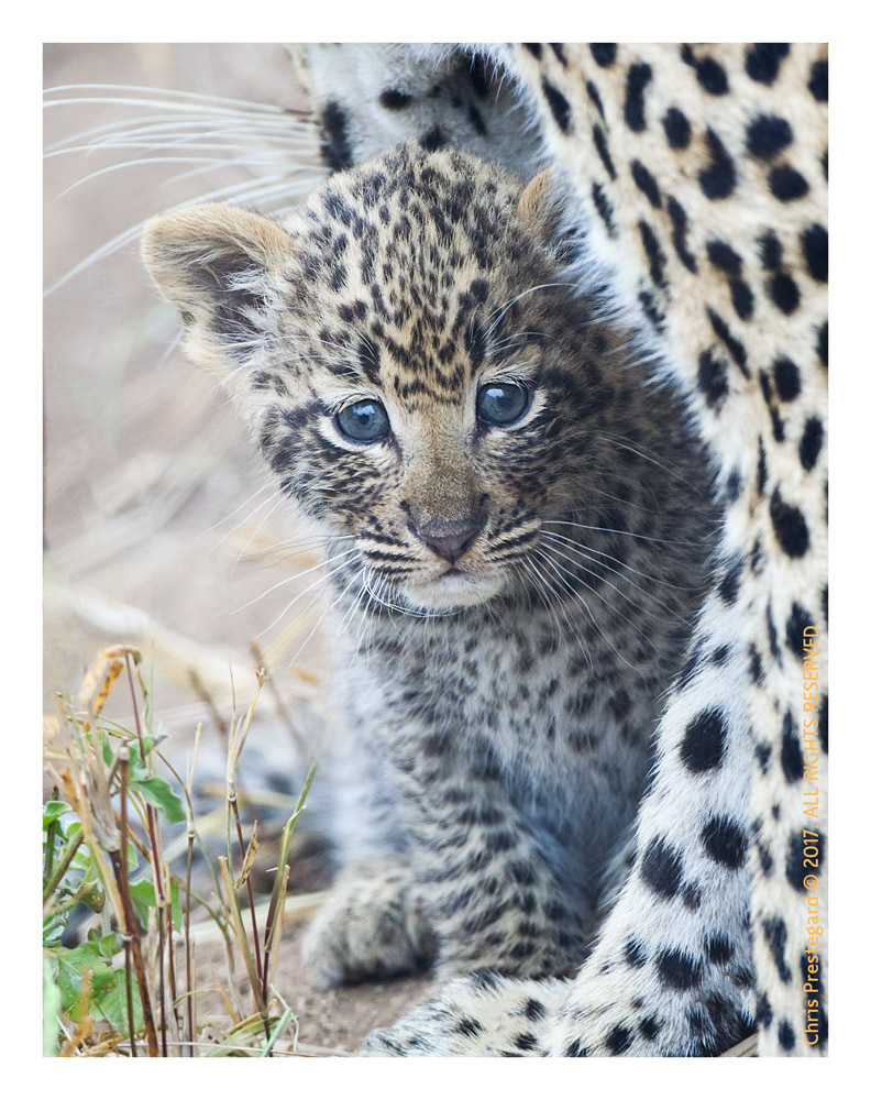 Leopard Cub, South Africa June 2012