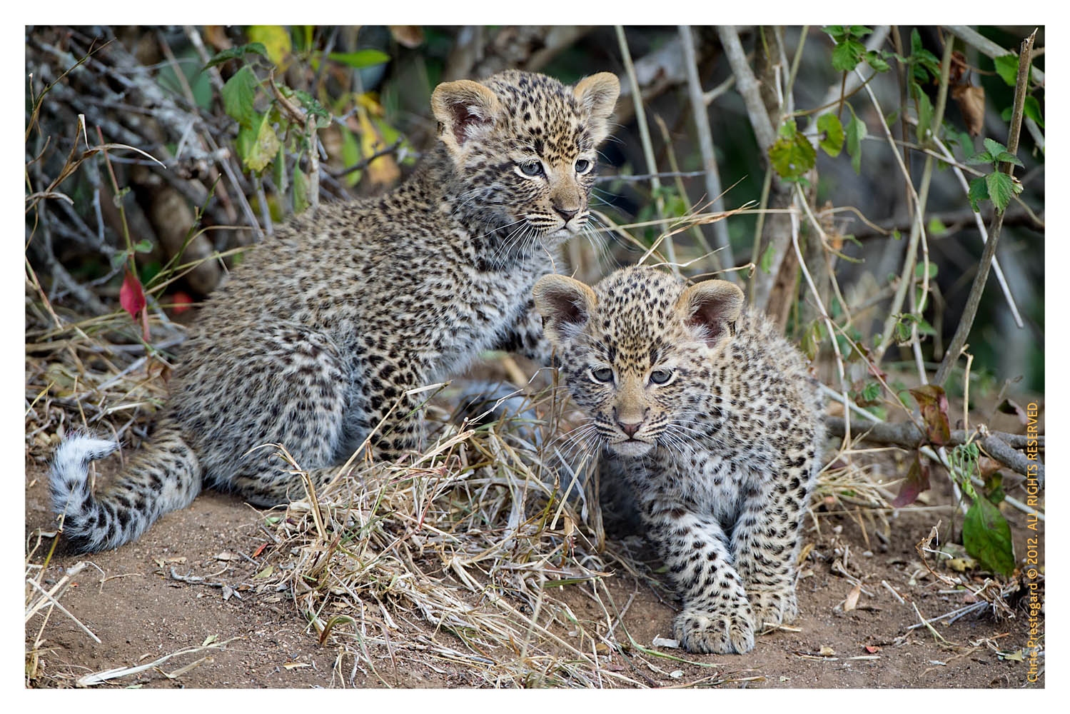 LeopardCubs4205-Jul17-2012