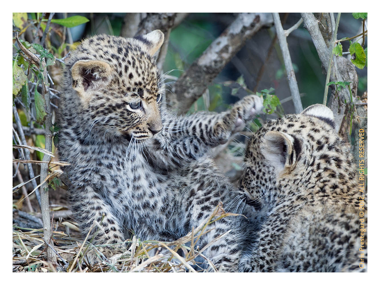 LeopardCubs4242-Oct7-2012