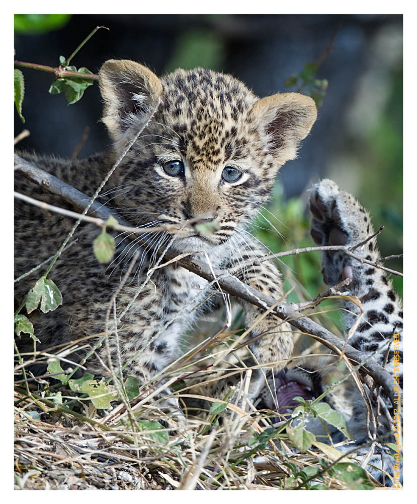 LeopardCubs4336-Jul18-2012