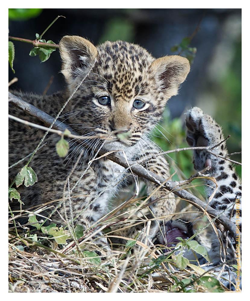LeopardCubs4336-Jul18-2012