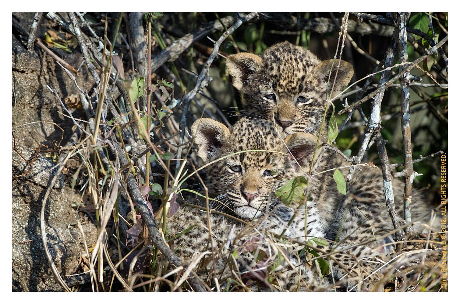 LeopardCubs4464-Jul17-2012