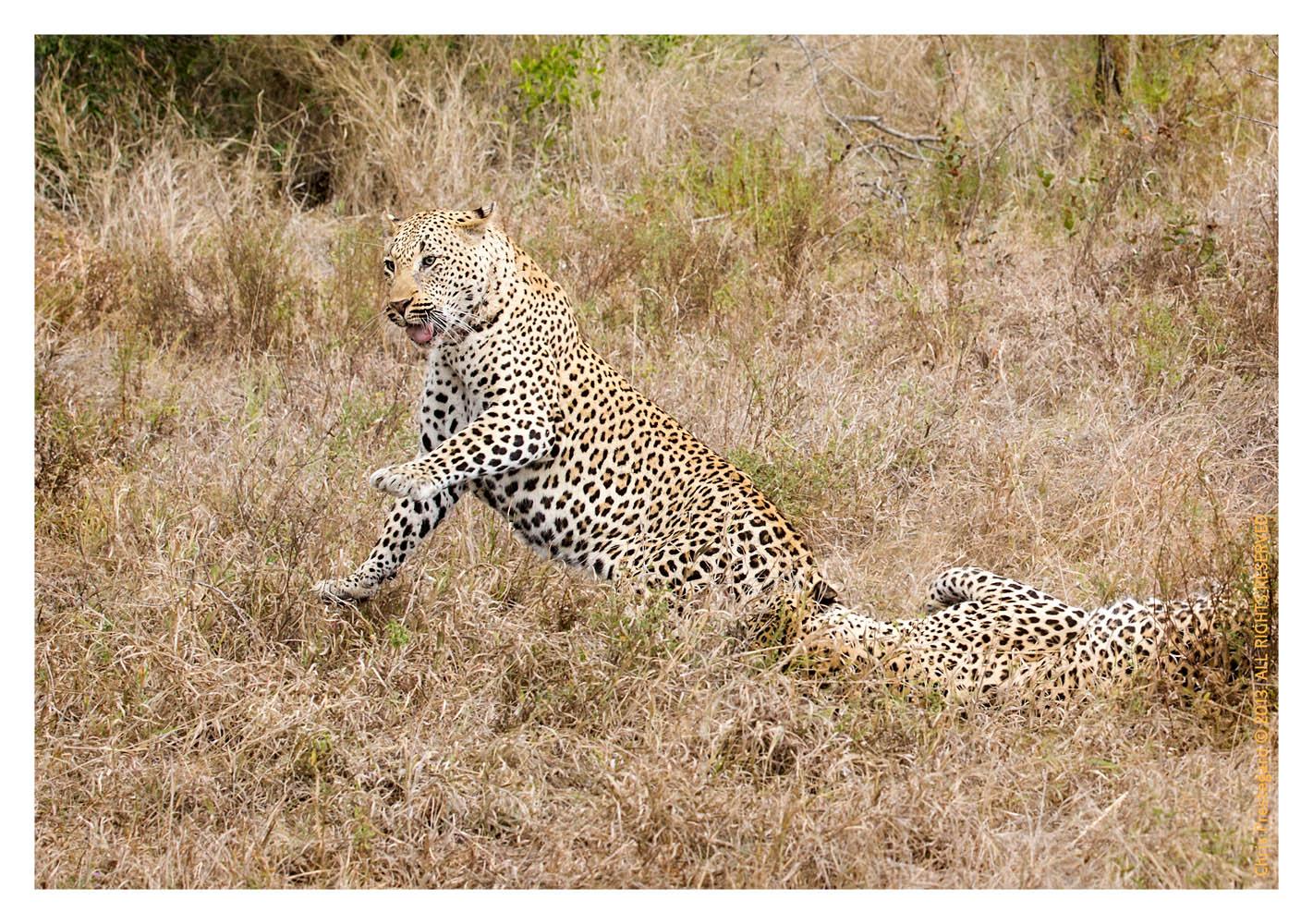 LeopardFight8121-Oct15-2013