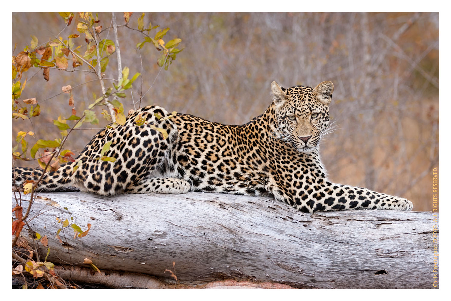 LeopardKeisha6736d_Dec29-2011