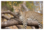 LeopardKeisha6770_Aug13-2011