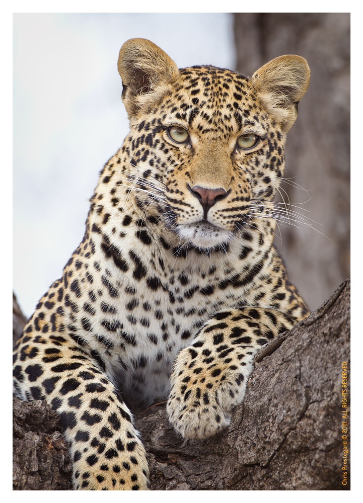 LeopardKeisha7282_Aug11-2011