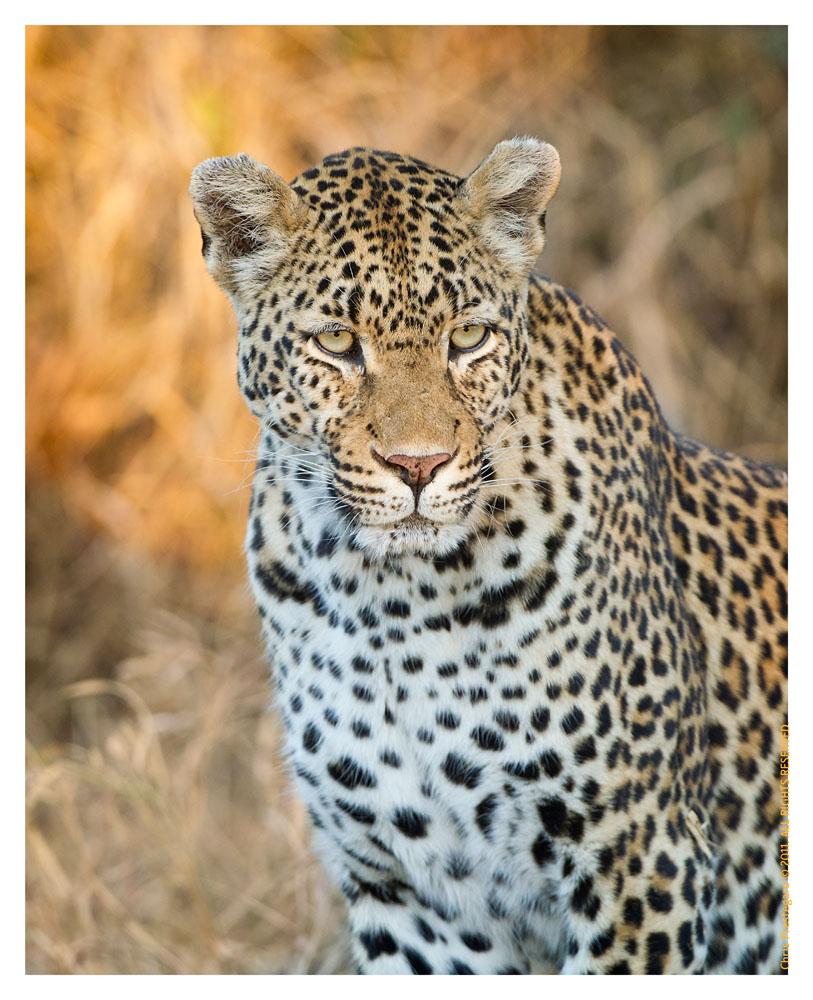 LeopardKiki3350_Aug11-2011