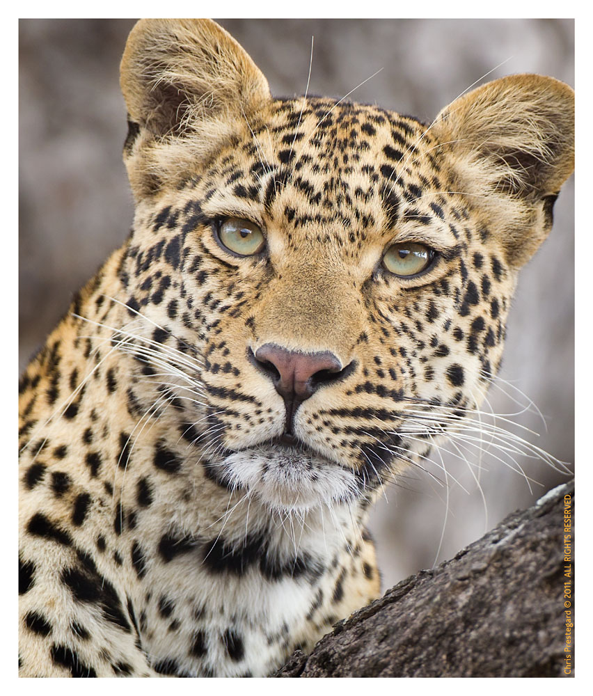 LeopardKisha7074_Aug10-2011