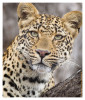 LeopardKisha7074_Aug10-2011