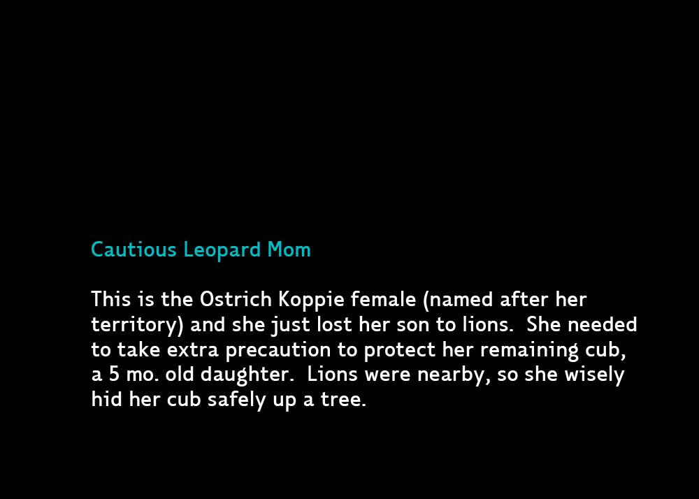 LeopardLionB