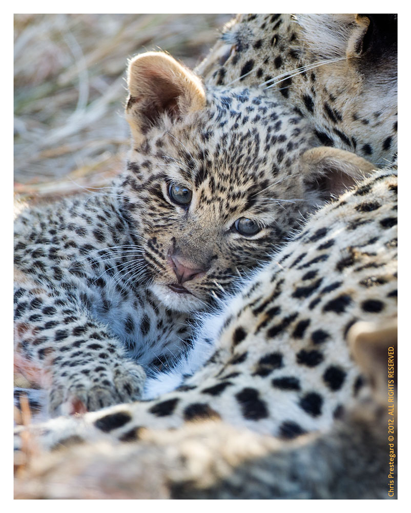 LeopardMomCub2737-Jul29-2012