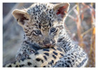 LeopardMomCub2854-Jul28-2012