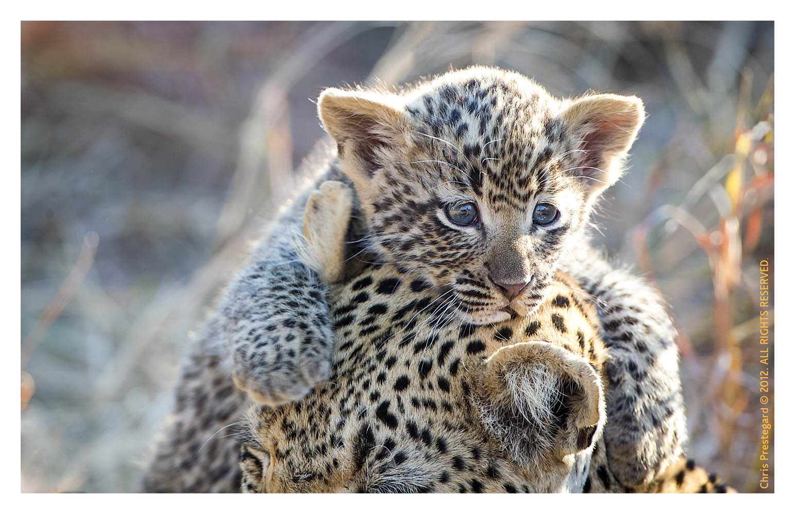 LeopardMomCub2889-Jul14-2012