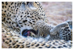 LeopardMomCub3633-Jul27-2012
