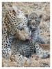 LeopardMomCub372-Oct7-2012