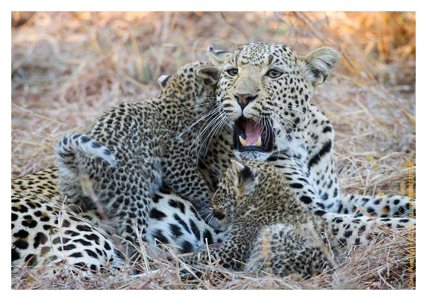 LeopardMomCubs1813-ul16-2012