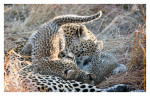 LeopardMomCubs4149-Jul21-2012