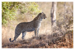 LeopardOK7359_Aug9-2011