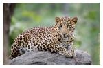 LeopardPench2579_Jan22-2012