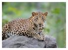 LeopardPench2584_Jan19-2012