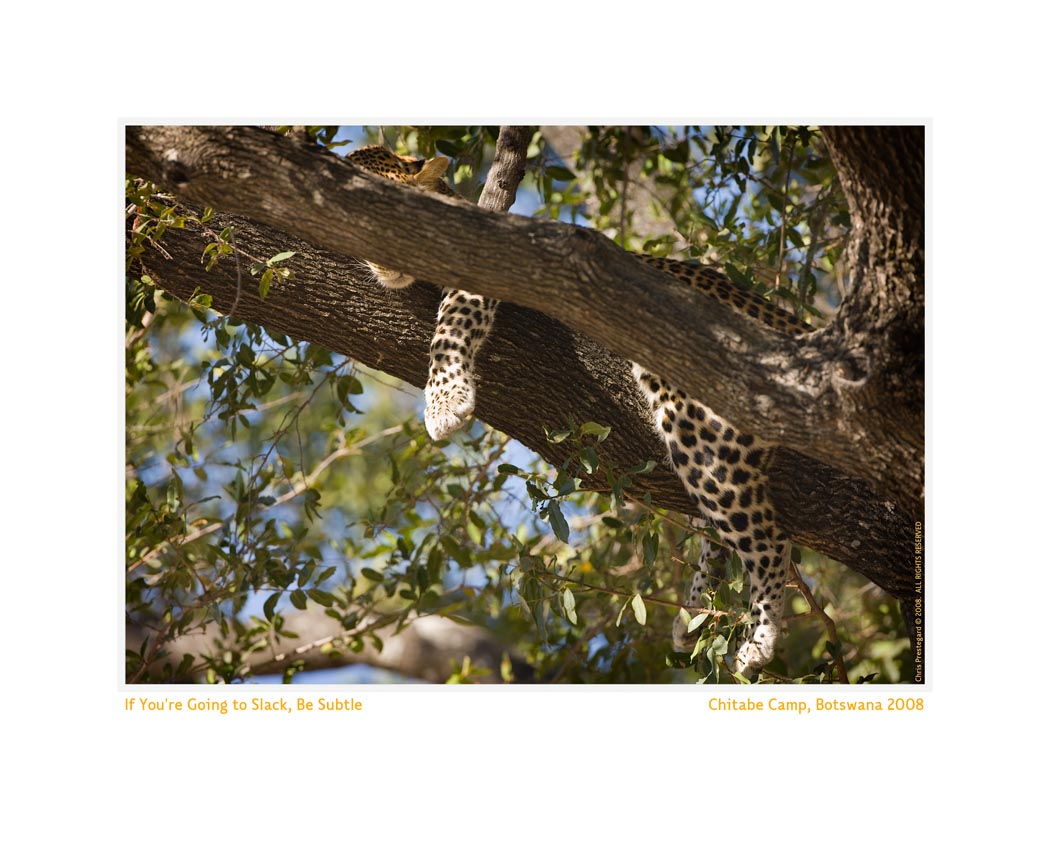 LeopardTree979b_Aug22-08