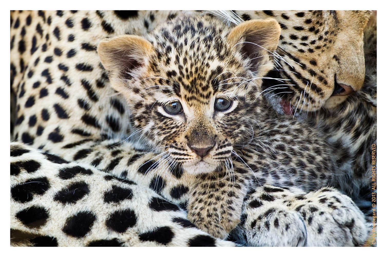 LeopardTwins3281_Oct29-2013