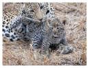 LeopardTwins3723-Oct14-2013