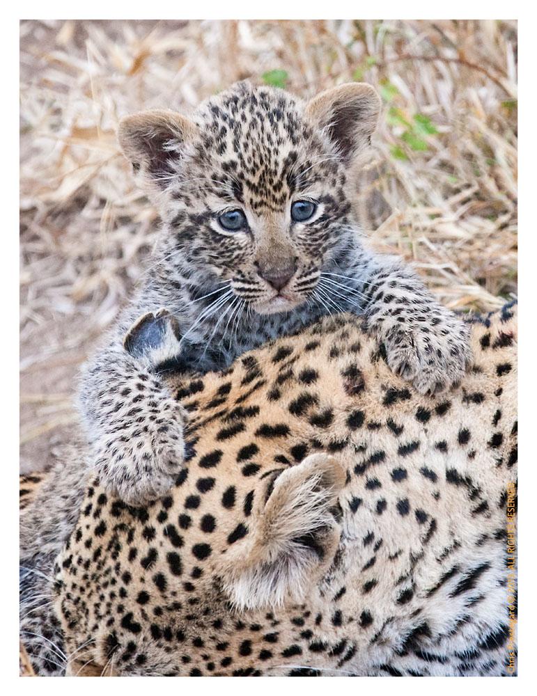 LeopardTwins3748-Oct17-2013