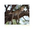 Leopard_921f_Sept28-2011