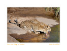 Leopards2179-Apr19-2014