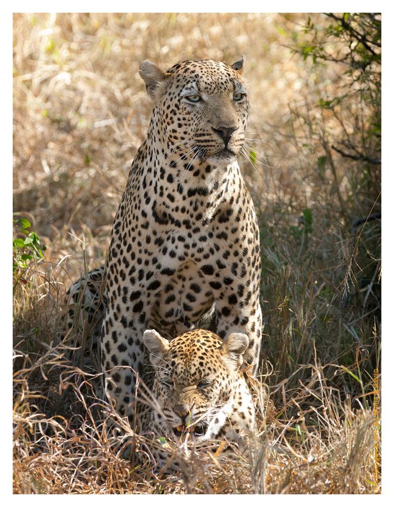 LeopardsMating5934__Aug9-2011