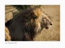 Lion1935b__9-15-07