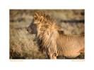 Lion423b_Aug21-08