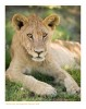 Lion697_9-15-07