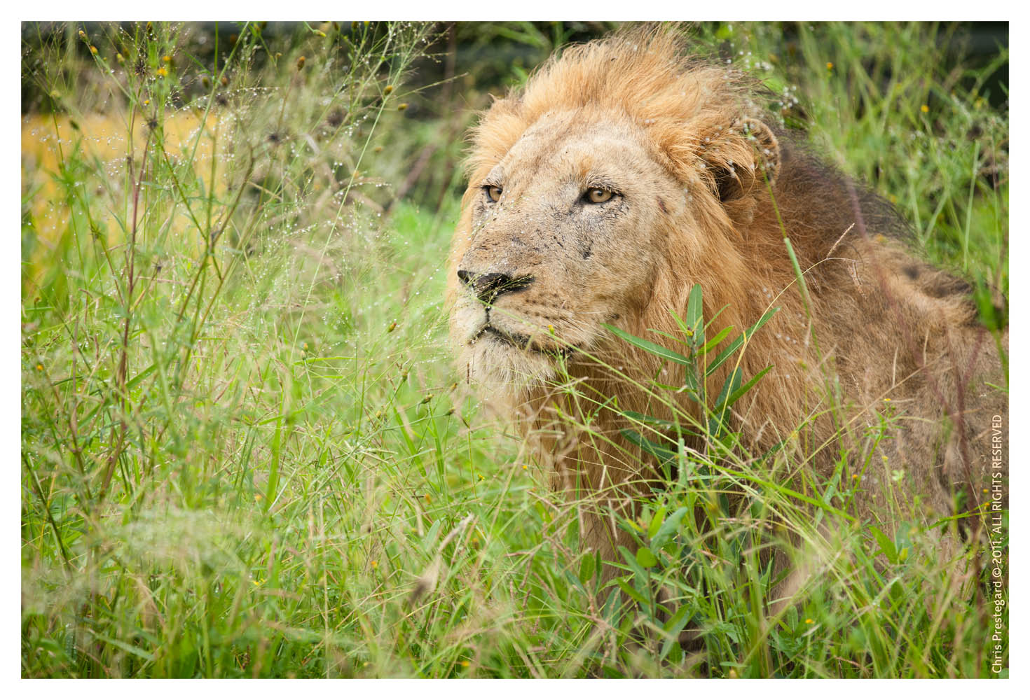 Lion9986B_Apr21-2011
