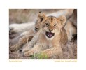 LionCub150Growl_Jun11-09